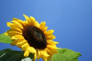 1198819_sunflower_300