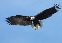 Eagle_lrg